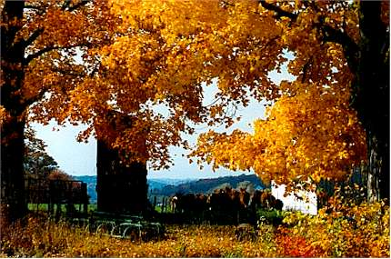 Golden leaves and cows.jpg (38563 bytes)